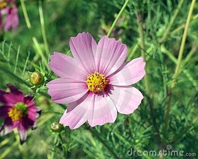 Pink flower with yellow center on grass background
