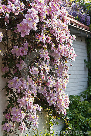 Free Pink Flowering Clematis Montana In Spring Stock Photography - 12756582