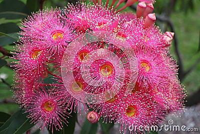 Eucalyptus flower pink bloom