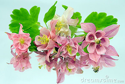 Pink flowers of aquilegia
