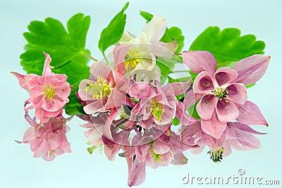 Pink flowers of aquilegia
