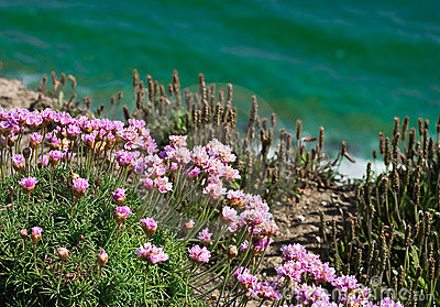Pink flowers on cliff by emerald sea