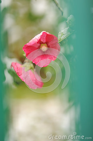 Free Pink Flowers In Bloom At Late Autumn Stock Photo - 38939450