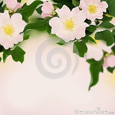 Free Pink Flowers Of Wild Rose Stock Photos - 37383473