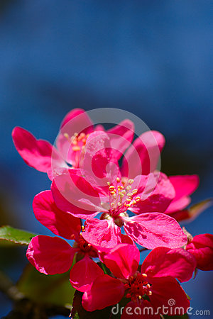 Free Pink Flowers On Blue Background Stock Images - 53058514