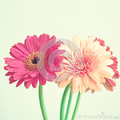 Free Pink Flowers On Mint Royalty Free Stock Photos - 70324798