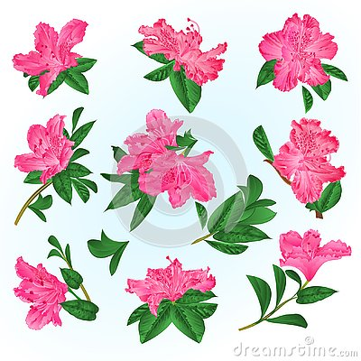Free Pink Flowers Rhododendrons And Leaves Mountain Shrub On A Blue Background Vintage Vector Illustration Editable Royalty Free Stock Photos - 137853678