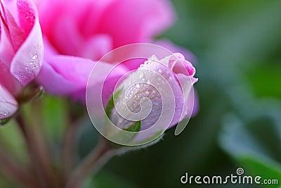 Pink för 3 blommor