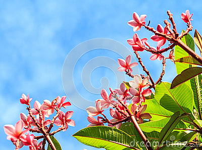 Pink frangipani in nature frame
