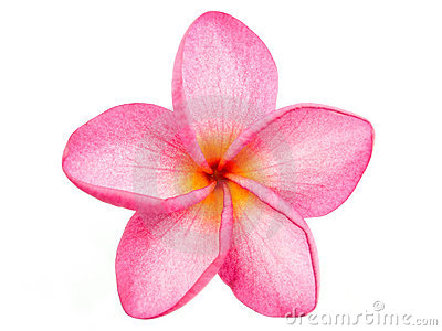 Pink Frangipani Plumeria