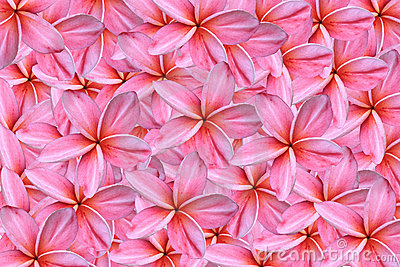 Pink frangipani or plumeria flowers
