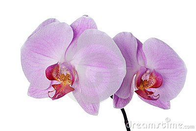 Pink fresh orchid