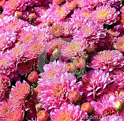 Pink garden mums