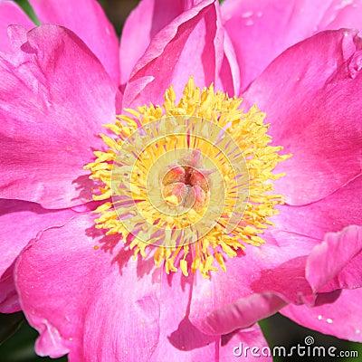 Pink garden peony (Chinese peony)