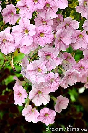 Pink Garden Petunia