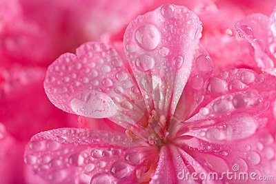 Pink geranium flowers with water droplets