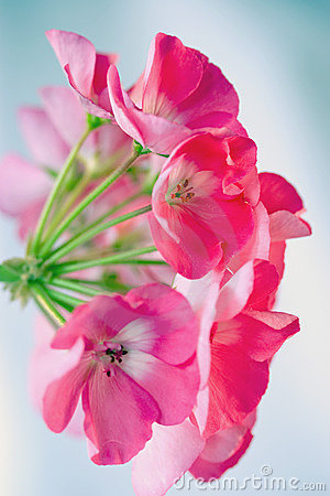 Pink geranium from side