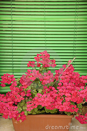 Pink geraniums on window sill.