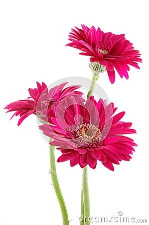 Pink Gerber Daisies Stock Image - Image: 9202521