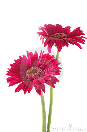 Free Pink Gerber Daisies Royalty Free Stock Photography - 919957