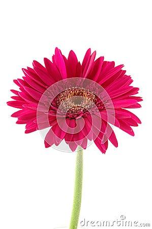 Free Pink Gerber Daisy Stock Image - 891961
