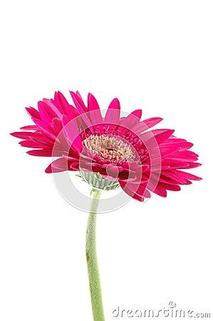 Free Pink Gerber Daisy Stock Photos - 919953