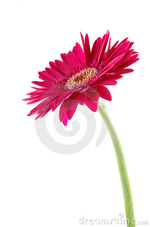 Free Pink Gerber Daisy Royalty Free Stock Photo - 919955