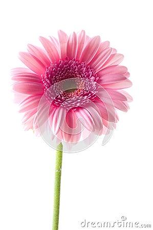Free Pink Gerber Flower Stock Image - 7536531