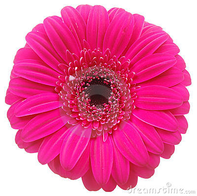 Pink Gerber flower on white