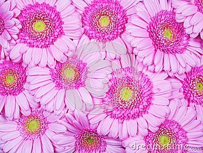 Pink Gerber flowers