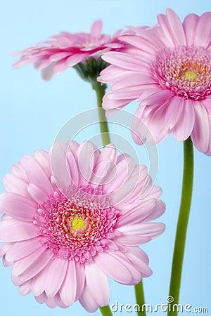 Pink Gerbera Daisies over Pastel Blue