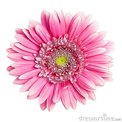Free Pink Gerbera Flower Royalty Free Stock Photos - 18091738