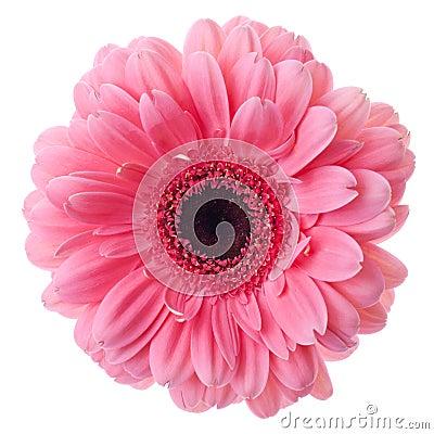 Free Pink Gerbera Flower Royalty Free Stock Image - 18206906