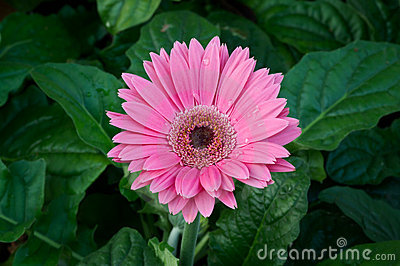Pink Gerbera Flower. Royalty Free Stock Images - Image: 22673909