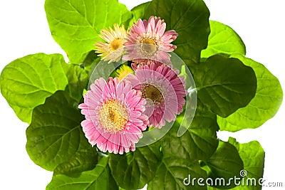 Pink gerbera in flowerpot