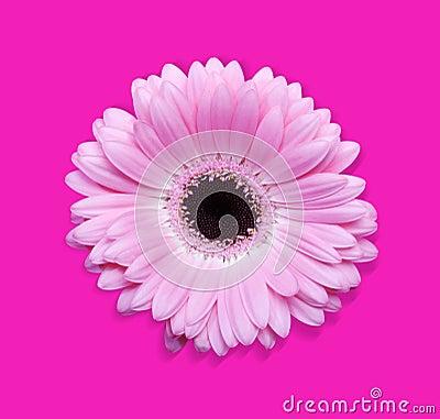 Pink gerbera with path