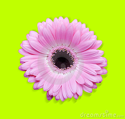 Pink gerbera with path