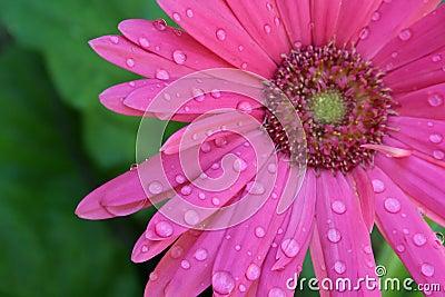Pink Gerbera with Water Drops