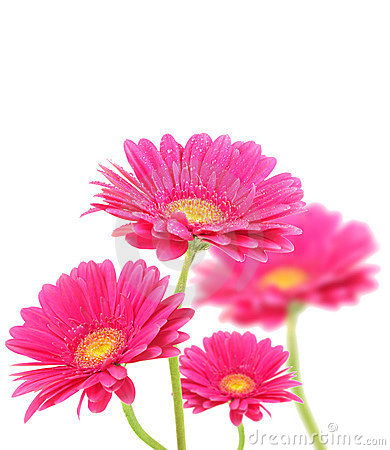 Free Pink Gerberas Flowers Royalty Free Stock Images - 17655599