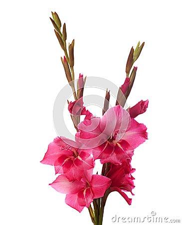 Free Pink Gladiolus Royalty Free Stock Photos - 17889428