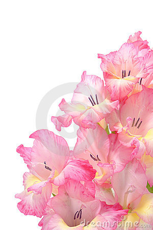 Pink Gladiolus Flowers Bouquet Isolated on White