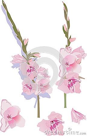 Pink gladiolus flowers illustration