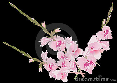 Pink gladiolus flowes on black