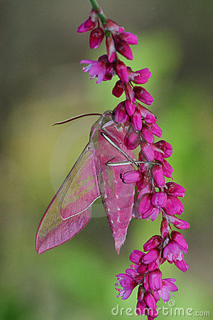 Free Pink Hawkmoth (Deilephila Elpenor) Royalty Free Stock Image - 13297886