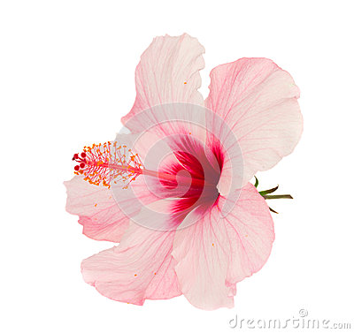 Free Pink Hibiscus Flower Royalty Free Stock Images - 25685199
