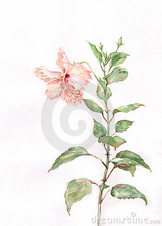 Pink hibiscus flower watercolor painting