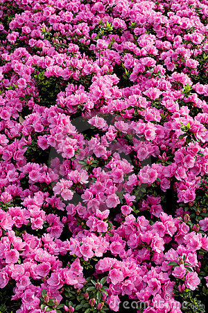Pink hododendrons background