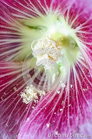 Pink hollock pollen