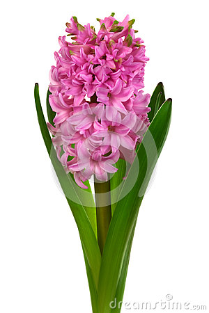 Free Pink Hyacinth Stock Images - 30015424