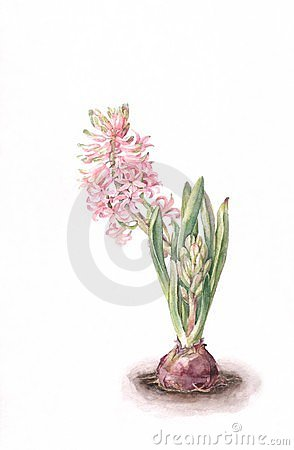 Pink hyacinth flower watercolor painting.